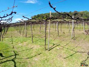 Imaginem como esse parreiral (no quintal da vinícola) deve ficar lindo entre janeiro e março, época da colheita!