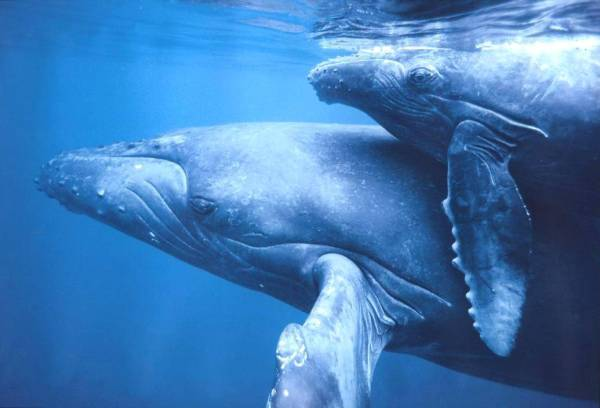 baleia-jubarte1